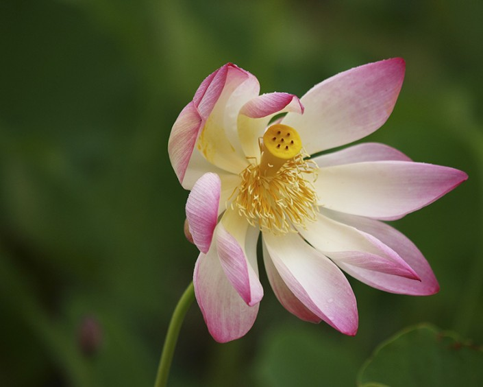 an image of the beautiful pink sacred lotus flower
