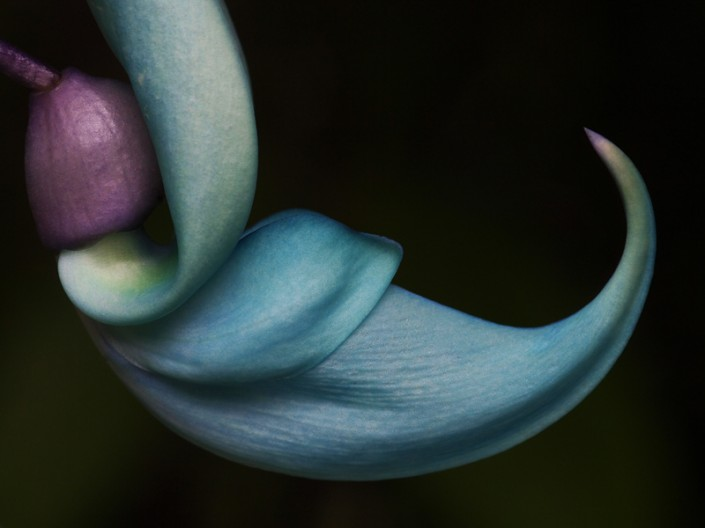 A close up image of the exquisite blue jade flower
