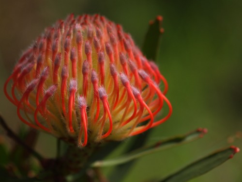 a beautiful cultivated pincushion protea in full bloom