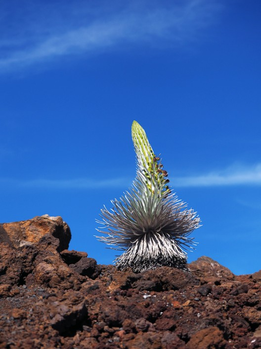 majestic young silversword blossoming on the slopes of Haleakal, Maui, Hawaii