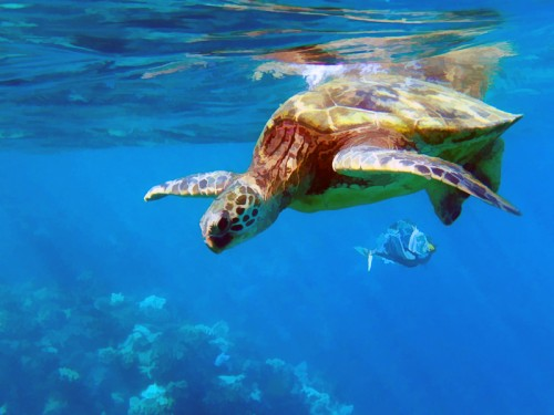 hawaii underwater gallery - A view of a Hawaiian Green Sea Turtle and a Jack Fish near the surface of the water