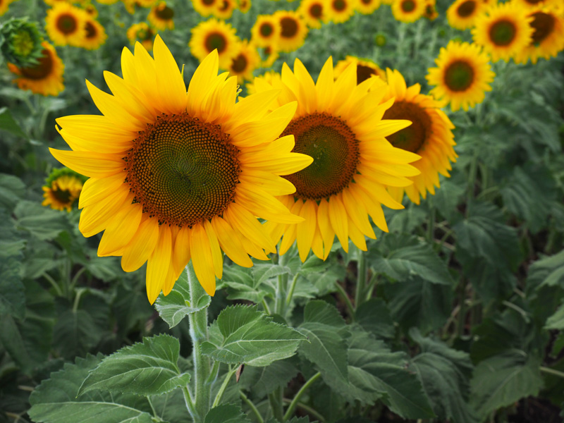a row of sunflowers in a field