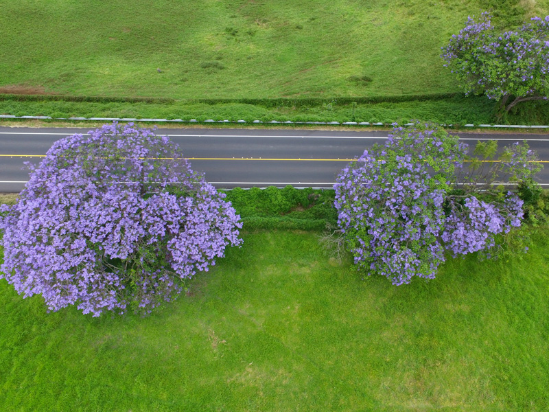 View of jacaranda tree from above