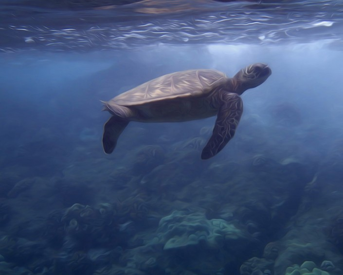 an endangered Green Sea Turtle floats near the surface of the water in south Maui