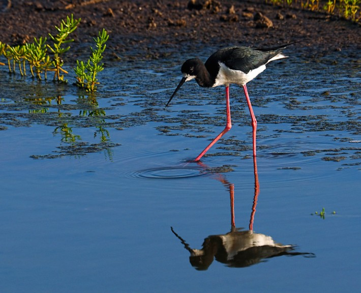 The endangered Hawaiian Stilt known as Ae'o