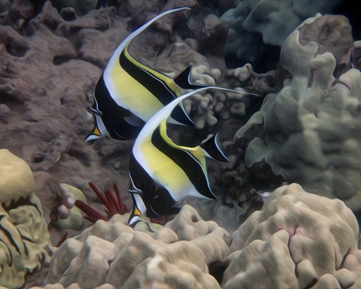 Two angel fish swim together under the clear waters of south Maui