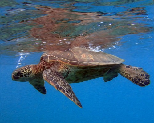 A Green Sea Turtle hangs out near the surface of the water near shore in south Maui