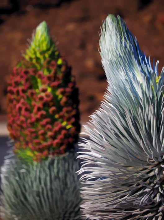 A view of two Silversword plants, one blossoming and one about to blossom