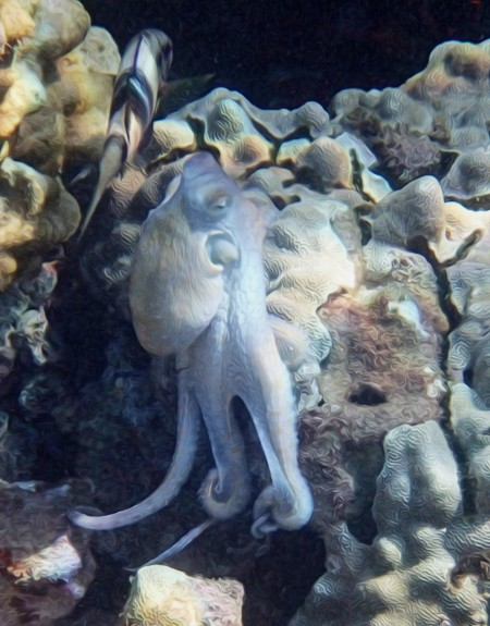 a small beautiful white octopus is seen on the rocks in the waters of Maui, Hawaii