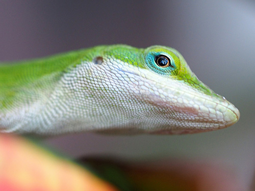 a candid portrait view of a common gecko