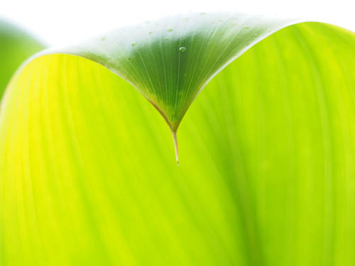 a beautiful bright green ti leaf with its pointed tip