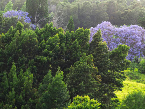 Maui's spring time Jacaranda tree can be found bloosming amidst a strand of evergreens