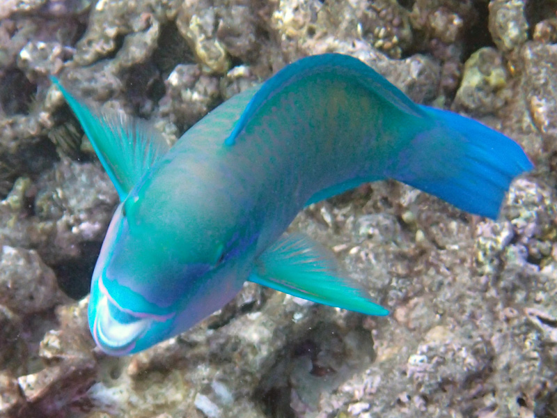 A close up image of a parrotfish and its big grin