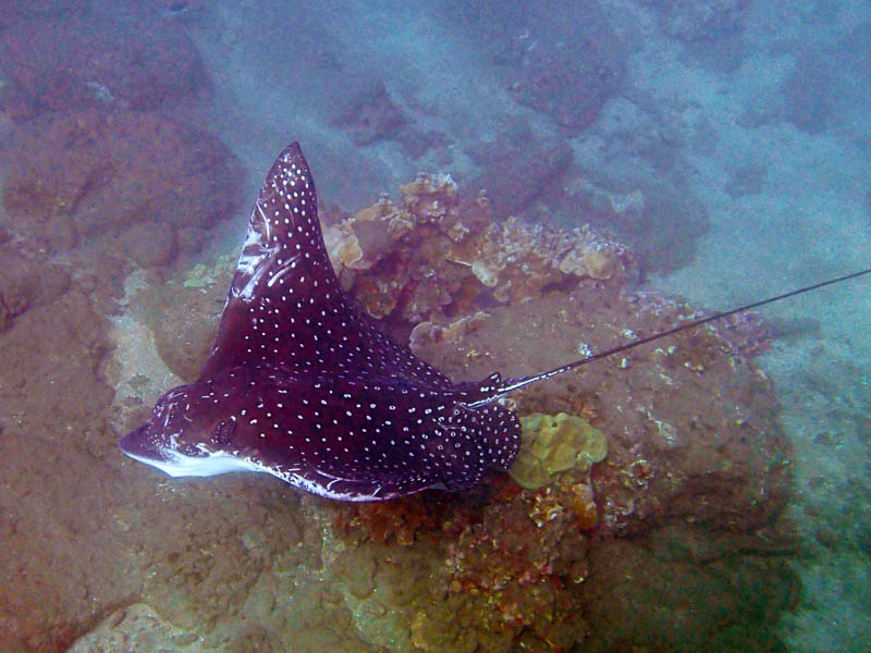 a spotted eagle ray cruises by closely as it casually swims along the south shore of Maui