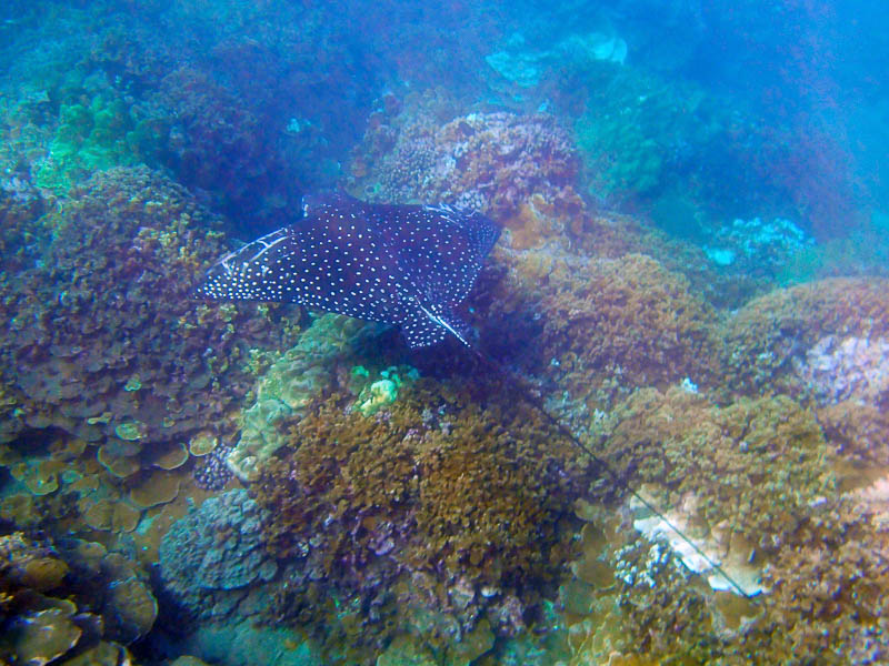 a spotted eagle ray cruising along the coral laden sea floor