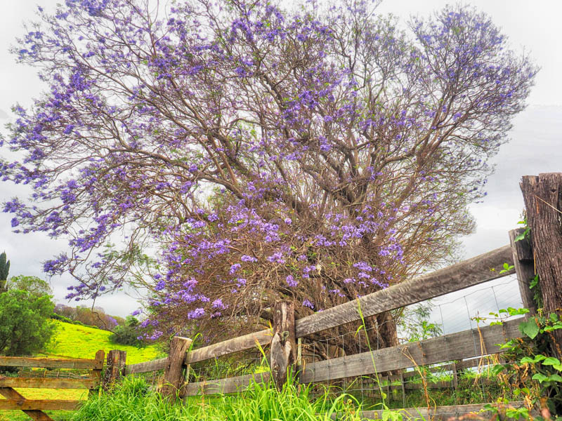 A stricking purple flowered Jacaranda tree in a pasture on the slopes of Haleakala
