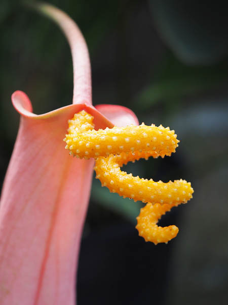 The Flamingo Flower identified by its curled stem