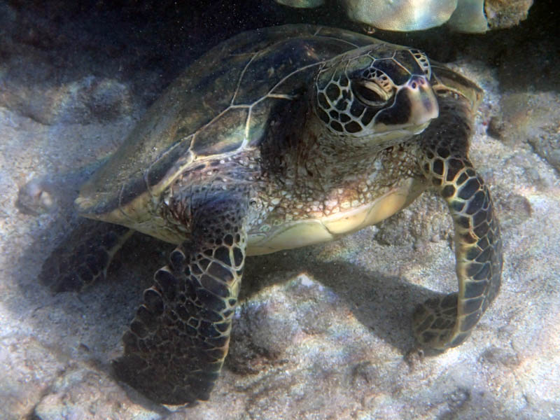 Hone, the Hawaiian Green Sea Turtle, south Maui