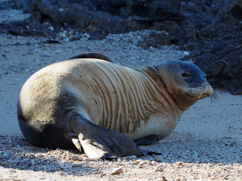 Hawaiian Monk Seal assessing a photorapher