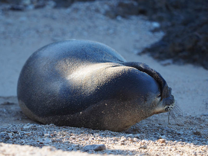 Shy Hawaiian Monk Seal