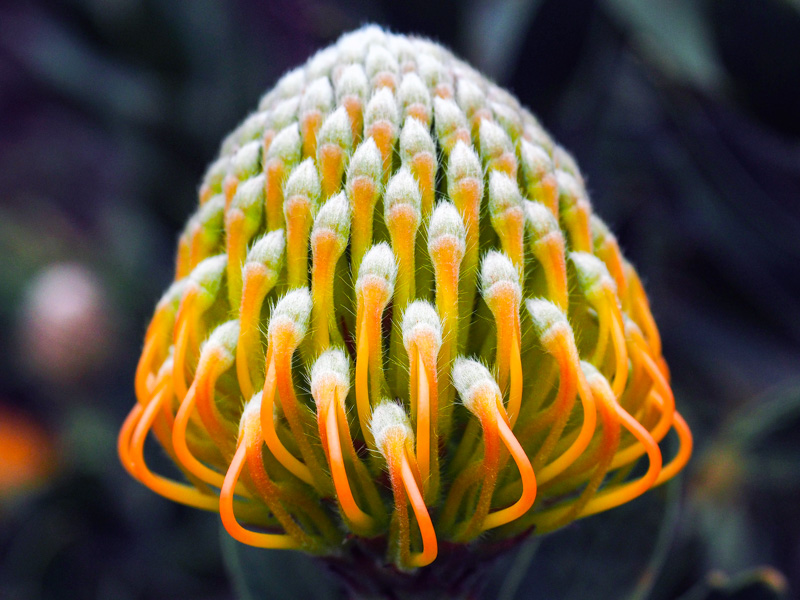 emerging pincushion protea