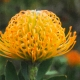 yellow pincushion protea