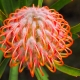 beautiful pincushion protea
